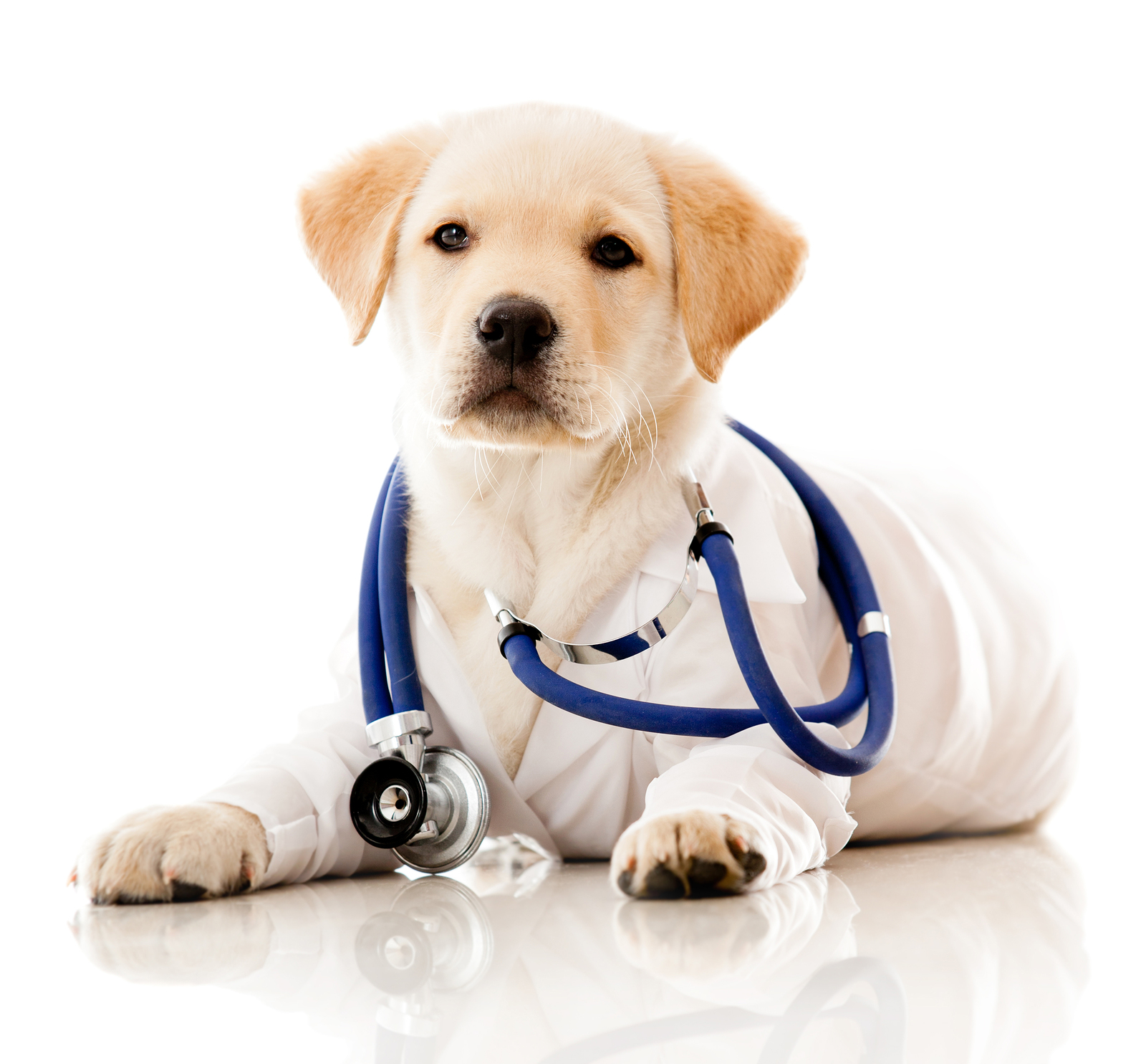 Little dog as a vet wearing robe and stethoscope – isolated over